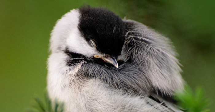 A young chickadee sleeping on a branch.