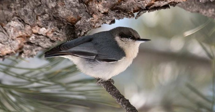 Pygmy Nuthatch on a pine branch.