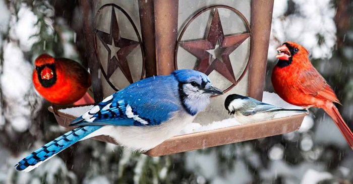 Blue Jay and Cardinals at a snowy bird feeder