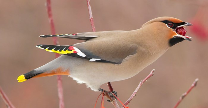 The Bohemian Waxwing is a big fruit lover