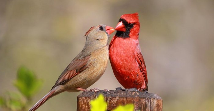 A pair of Northern Cardinals feed each other.