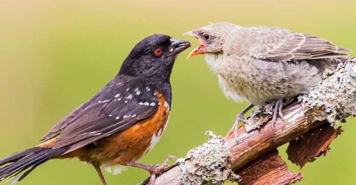 Mother towhee feeding a hungry fledgling