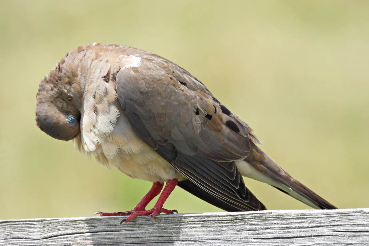 A Mourning Dove takes time to preen its chest feathers, cleaning and arranging them back into their proper place. passion4nature / iStock / Getty Images Plus