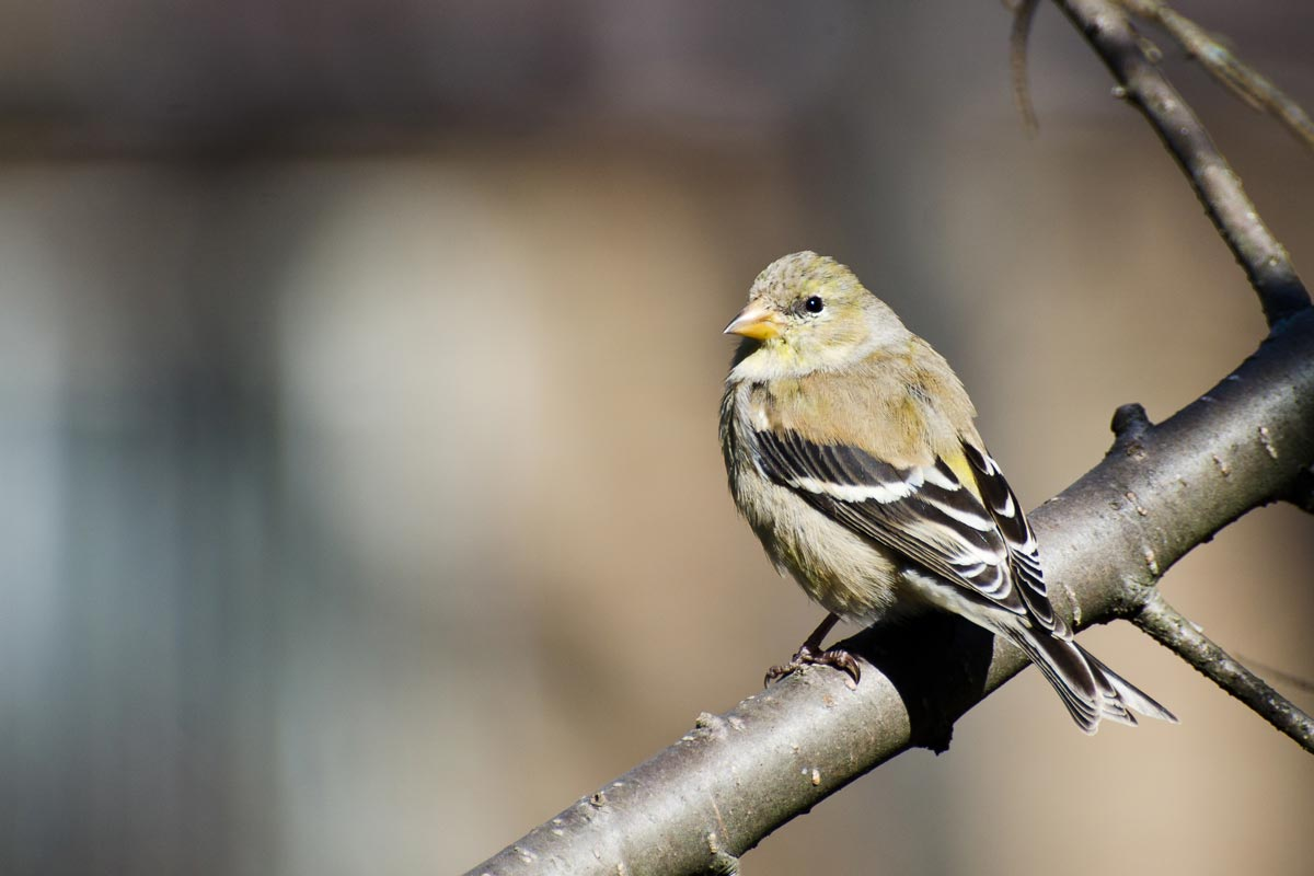 In contrast to the brightly colored male, a female American Goldfinch is much duller in color. RCKeller / iStock / Getty Images Plus